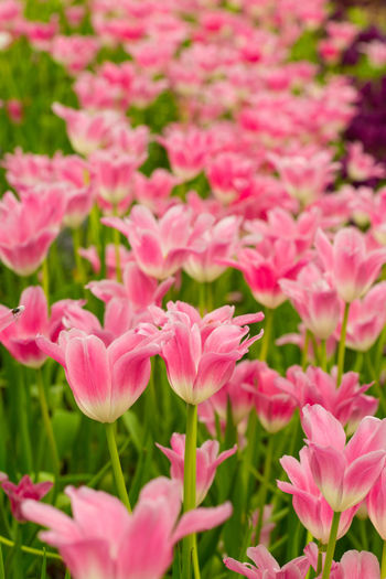 Tulips🌷 Flower Plant Beauty In Nature Flowering Plant Vulnerability  Freshness Fragility Petal Growth Pink Color Close-up Inflorescence Flower Head Nature Day No People Botany Field Land Outdoors Flowerbed