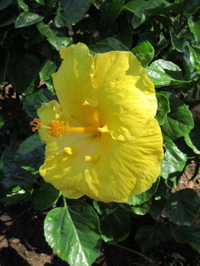 Yellow Hibiscus Hibiscus 🌺 Yellow Flower Yellow Flower Head Yellow Hibiscus Yellow Hibiscus Flower Beauty In Nature Flower Flower Head Flowering Plant Fragility Hibiscus Inflorescence Nature Outdoors Vulnerability  Yellow