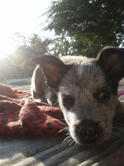 my favorite pups in the whole world, pure love EyeEm Selects EyeEmNewHere Blueheeler Aussie Cattledog Heeler Queensland Heeler Pets Tree Dog Sunlight Portrait Looking At Camera Close-up Sky Shining Canine Ear Purebred Dog