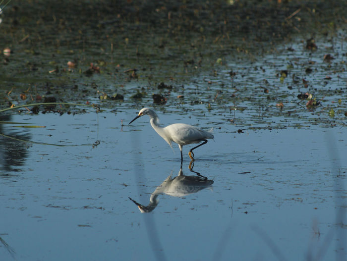 Evening feeding time An American Great Egret ( Ardea Alba Egretta), Animal Themes Animal Wildlife Animals In The Wild Beauty In Nature Bird Day Lake Nature No People One Animal Outdoors Reflection Water