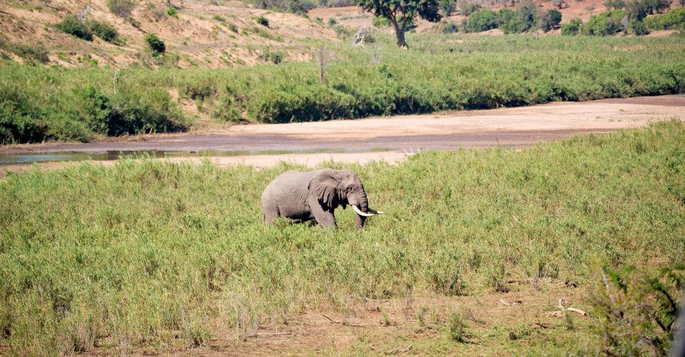 Elephant walking in a field