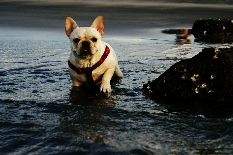 Frenchbulldog Bulldog Dog Ocean Shores Waves Pets Water Surface Pets Corner Playing With The Animals Getting In Touch 鐵蛋 Pet Portraits