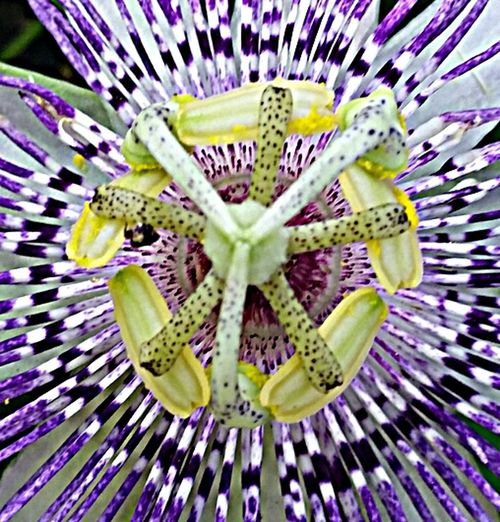 Pastel Power GS5active Purple Passionflower Spring Flowers
