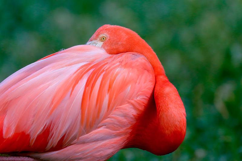 Close-up of flamingo preening outdoors