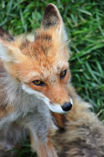 Nature Nature_collection EyeEm Nature Lover Animals Animal Animal_collection EyeEm Animal Lover Portrait Pets Corner Fox