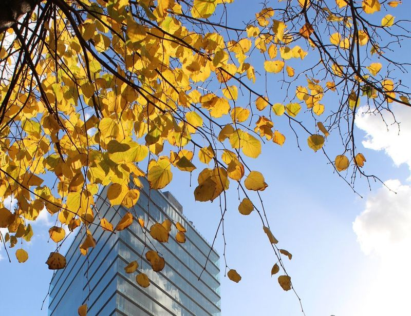 Autumn Leaf Tree Change Low Angle View Branch Sky Yellow Outdoors Nature Day Growth Beauty In Nature No People Blue Building Exterior Architecture Close-up Autumn🍁🍁🍁 Postcode Postcards Autumn17 Herbst17 🦋 Architecture Modern Nature