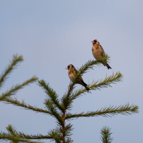 Goldfinches.