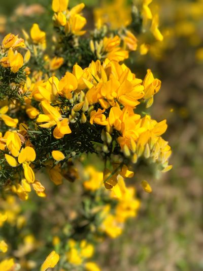 Yellow Flower Petal Growth Nature Freshness Beauty In Nature No People Blooming Fragility Plant Close-up Flower Head Outdoors Day Gorse Gorse Bush Gorse Flowers Furze Nitrosomonas Nitrogen Fixation Biomass