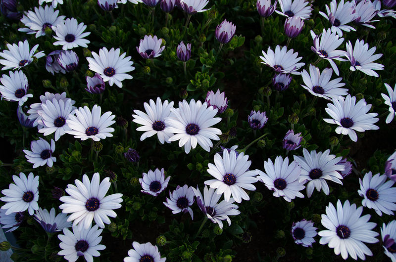 High Angle View Of Purple Daisy Flowers On Field