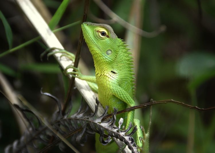 Close up of a Green Forest Lizard Animal Themes Animal Wildlife Animal One Animal Animals In The Wild Reptile Lizard Green Color Outdoors Focus On Foreground Animal Head  Green Forest Lizard Reptile Reptiles
