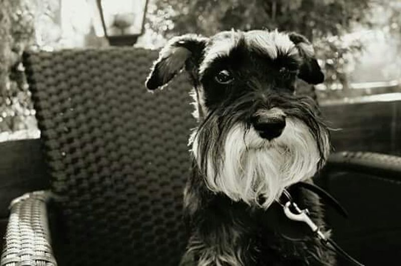 Black And White Dog Dog Love Eyes Dogs Love