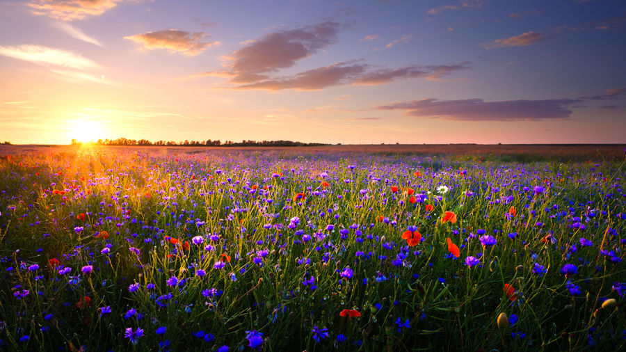 EyEmNewHere Agriculture Beauty In Nature Cloud - Sky Field Flower Flowerbed Fragility Freshness Growth Idyllic Landscape Multi Colored Nature Poppy Poppy Flowers Purple Rural Scene Scenics Sky Sunlight Sunset Tranquil Scene Tranquility