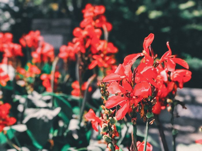 Flower Nature Growth Petal Beauty In Nature Plant No People Fragility Focus On Foreground Outdoors Day Red Flower Head Close-up Freshness Blooming