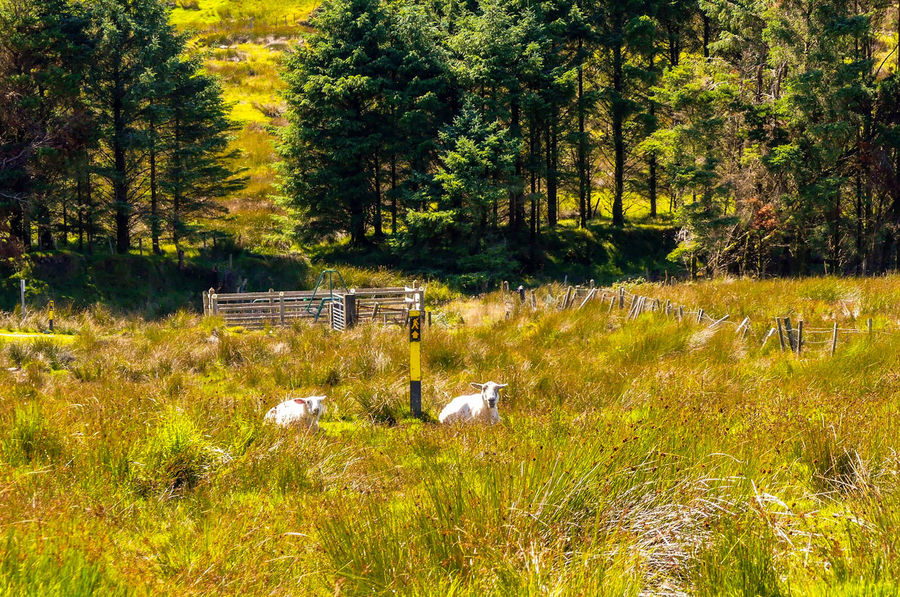 Ireland Beara Peninsula Sheep Animals Together Beara Way Eyeries Walking Trail Tree Field Grass Plant
