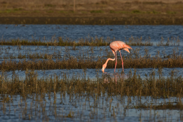 Animal Animal Themes Animal Wildlife Animals In The Wild Beauty In Nature Bird Drinking Flamingo Lake Nature One Animal Outdoors Pink Color Water