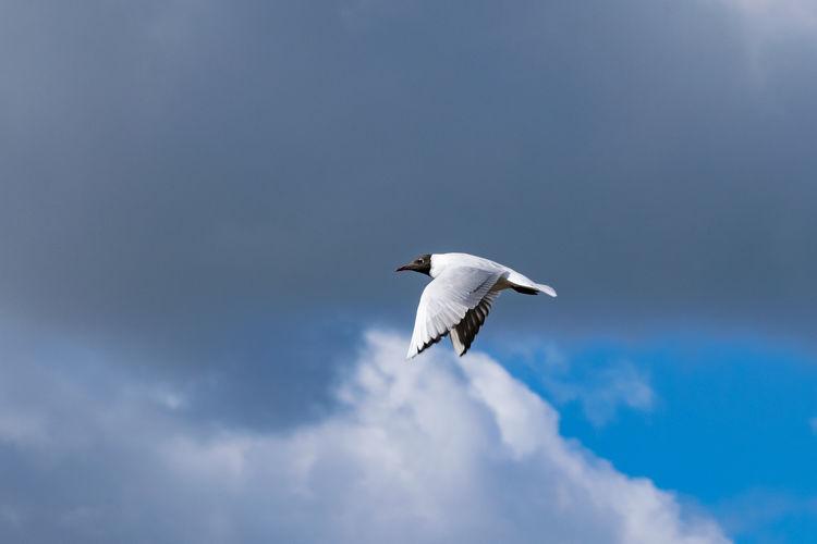 Black headed sea gull in flight
