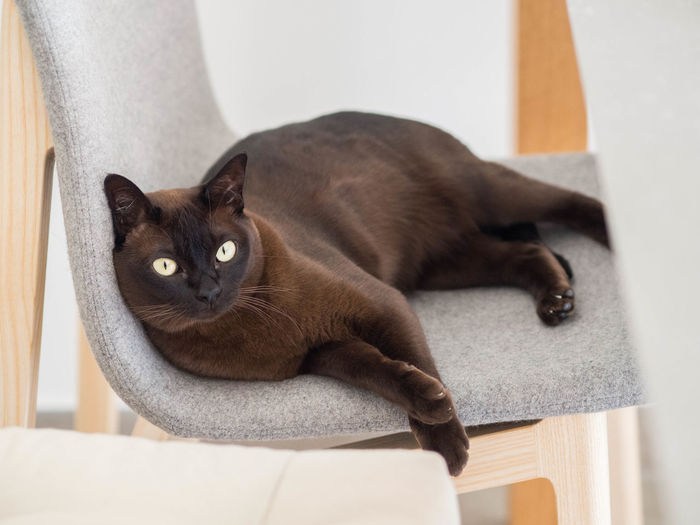 Portrait of black cat relaxing at home