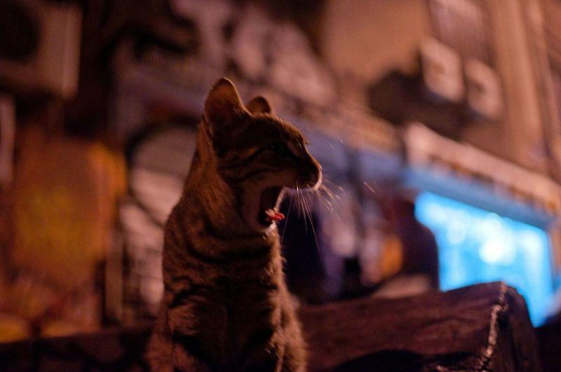 Close-up of cat yawning at night