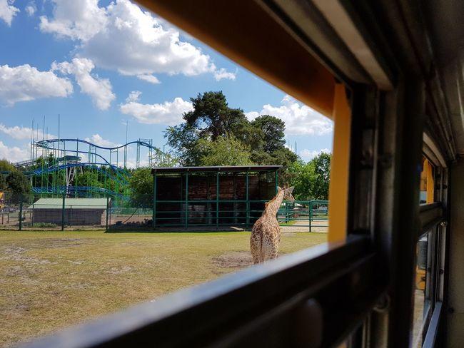 Giraffe Tree Day No People Sky Outdoors