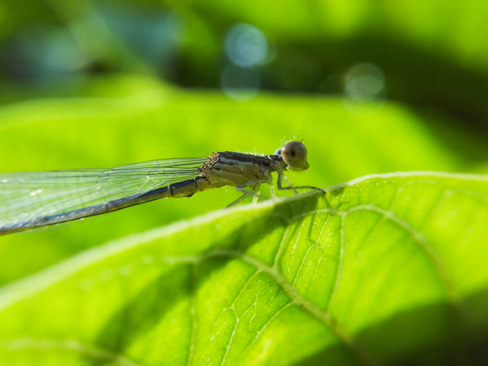 Dragonfly Macro Insect Leaf Green Color Animal Themes Nature One Animal Close-up Plant Outdoors Day Beauty In Nature Backlight Backlit Mobile Photography Nature Freshness Beauty In Nature Sunlight