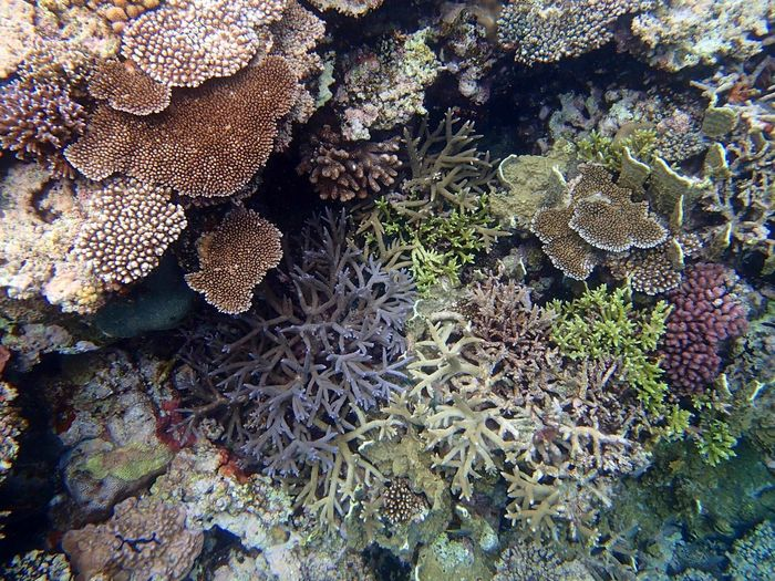 Snorkeling Diving Green Color Violet Color Branch Coral Table Coral Colorful Multi Colored Underwater UnderSea Coral Coral Reef Full Frame Backgrounds High Angle View Textured  Close-up Reef