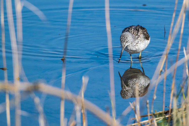 Animal Themes Animal Wildlife Animals In The Wild Beauty In Nature Bird Blue Close-up Day Greenshank Grünschenkel Lake Nature No People One Animal Outdoors Perching Plant Reflection Swimming Water
