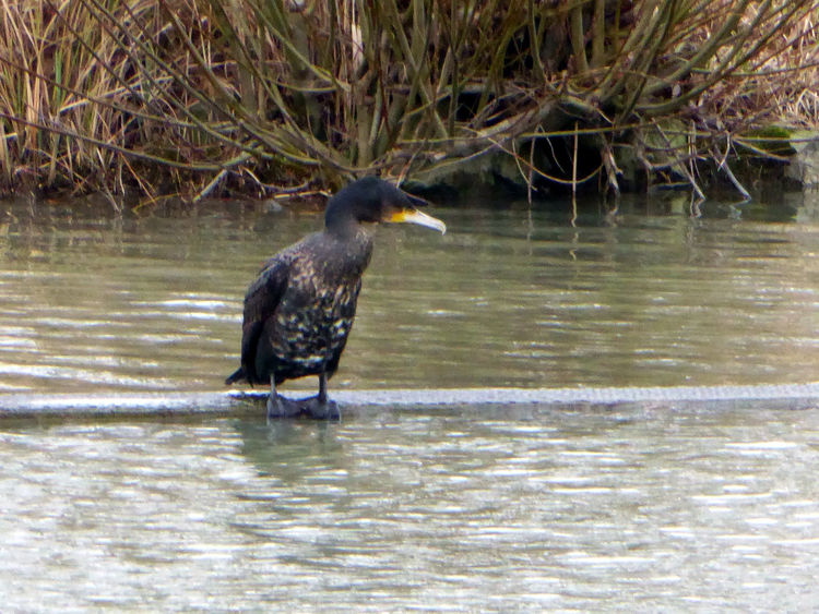 Cormorant Am Mittellandkanal Hannover Love To Zoom😍 Animals In The Wild Cormorant Bird Close-up Beauty On My Doorstep Could Watch For Hours Animal Wildlife Tranquility Bicycle Trip Beauty In Nature Tranquil Scene Water Bird Enjoying Life Animal Themes For My Friends 😍😘🎁 Low Angle View ForTheLoveOfPhotography Stormy Weather Bad Weather Good Mood
