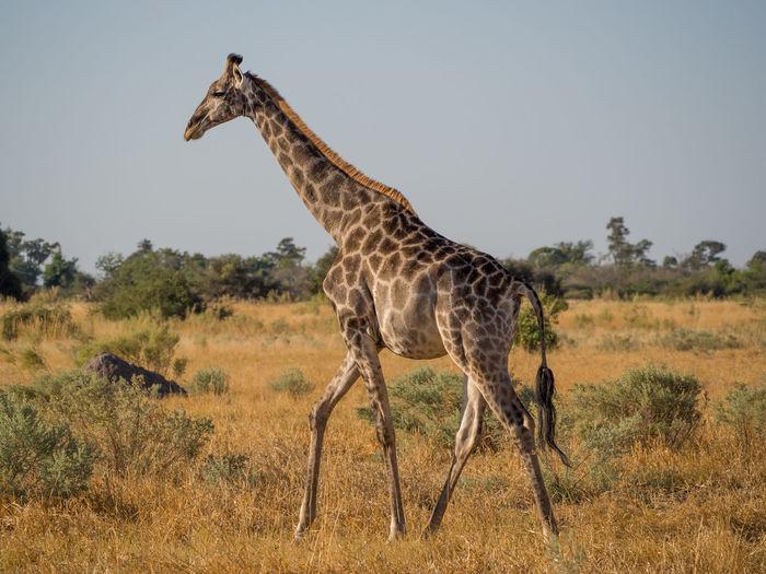 Giraffe walking on landscape against sky