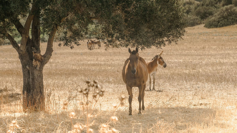 Pregnant horse & little donkey under the olive tree's shadow @ Dipkarpaz / TRNC Beauty In Nature Cyprus Day Donkey Eye Em Nature Lover EyeEm Masterclass EyeEm Nature Lover Feel The Journey Horse Landscape Master_shots Nature Outdoors Tranquility Tree Golden Hour Kktc Trnc Kıbrıs Karpaz 43 Golden Moments Focus On Foreground Eye4photography  Battle Of The Cities Fine Art Photography