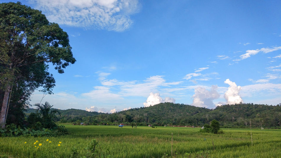 EyeEm Indonesia EyeEm Best Shots Tree Agriculture Cloud - Sky Field Nature Sky Growth No People Outdoors Blue Landscape Freshness Beauty In Nature Rural Scene Irrigation Equipment Day Grass Food Flower Colour Your Horizn
