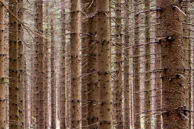 Abundance Backgrounds Bamboo - Plant Beauty In Nature Close-up Coniferous Tree Day Evergreen Tree Forest Growth Hoffi99 Land Nature No People Outdoors Pine Tree Pine Woodland Plant Textured  Tree Tree Trunk Trunk WoodLand