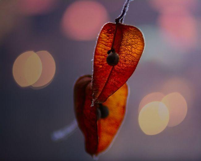 Close-up of winter cherry