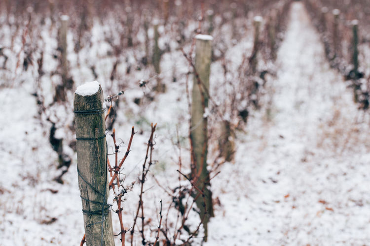 Snow covered land and vineyard. scenic view of vineyard under snow. snow on vineyard. snow on vine