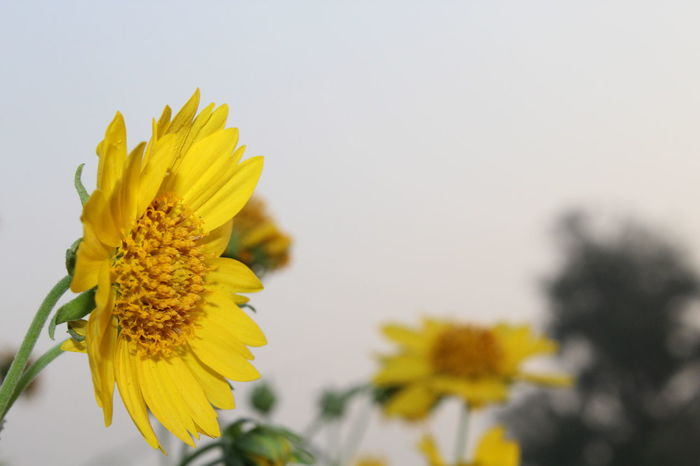 Yellow Flower FlowerEyeEm Selects Yellow Flower Head Fragility Petal Plant Nature Blossom Close-up Beauty In Nature Uncultivated Freshness No People Focus On Foreground Sunflower Growth Outdoors Day Black-eyed Susan Sky