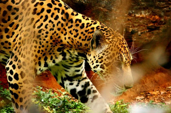 Leopard Leopard Animals In The Wild Wildlife Spotted Animal Head  Cheetah Natural Pattern One Animal