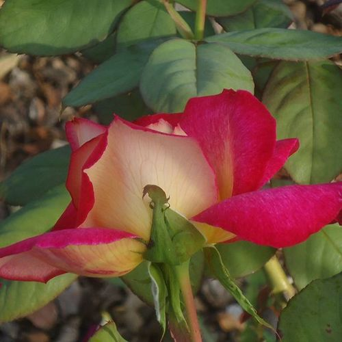 Rosaledadecervantes Rosa Rosé Ruusu Parque  Puisto Park Barcelona Bcnexploradores Bcnexplorers Thebarcelonist Fotofanatics_flowers_