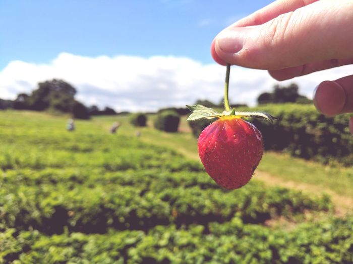 Cropped Hand Holding Strawberry On Field