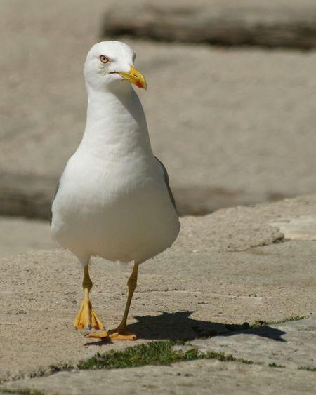 The walking seagull Seagull Walking Bird Animal Photography Bird Photography Red Eyes Alone Port Life EyeEm Bird Lover  Nature On Your Doorstep