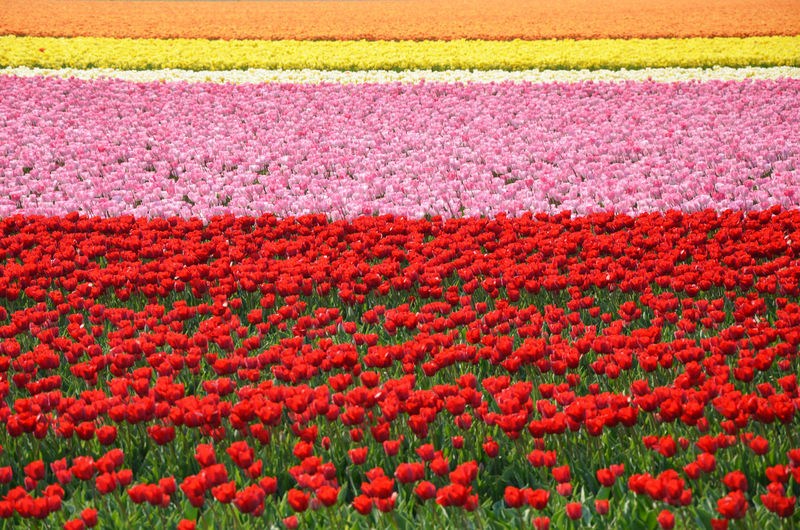 Colors Field Netherlands Beauty In Nature Day Flower Flowerbed Holland Multi Colored Nature No People Outdoors Red Striped Tulip