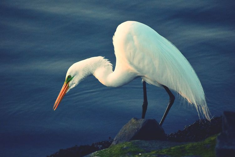 Bird One Animal Animals In The Wild Animal Wildlife Animal Themes Nature Day Outdoors No People Great Egret Lake Water Beak Close-up Beauty In Nature Perching Sky EyeEmNewHere
