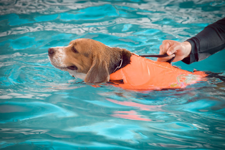 Blur the beagle dog to swim in the pool.