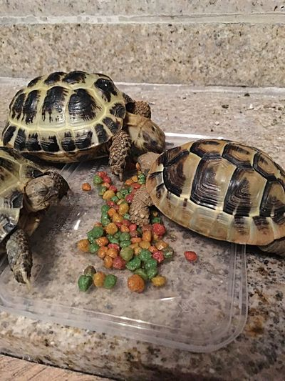 Tortoise Tortoise Eating Tortoiselife Tortoise Pet