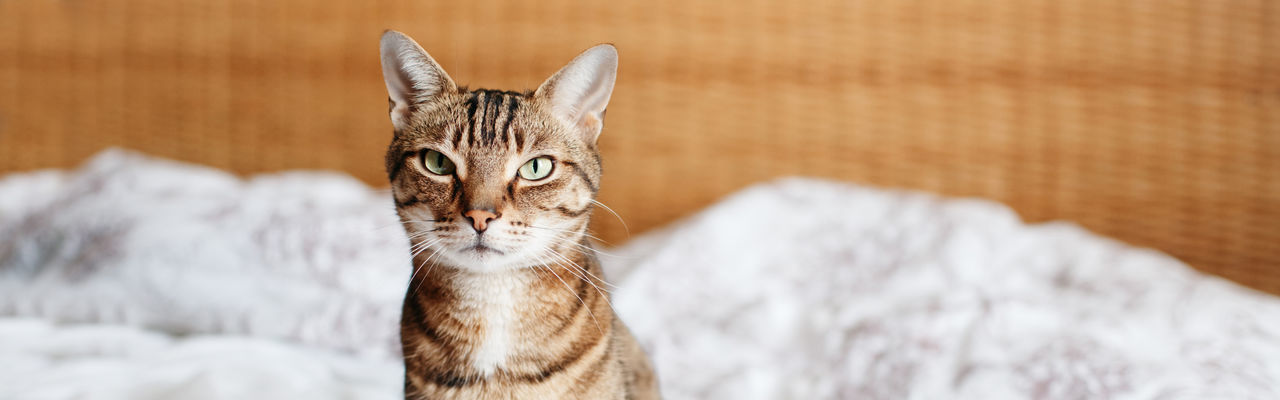 Beautiful pet cat sitting on bed in bedroom at home looking at camera. web banner header.