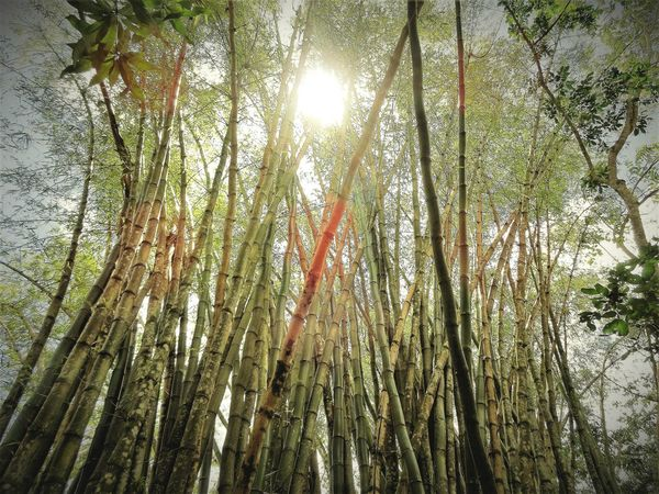 Tree Tree Trunk Forest No People Bamboo Grove Outdoors Beauty In Nature