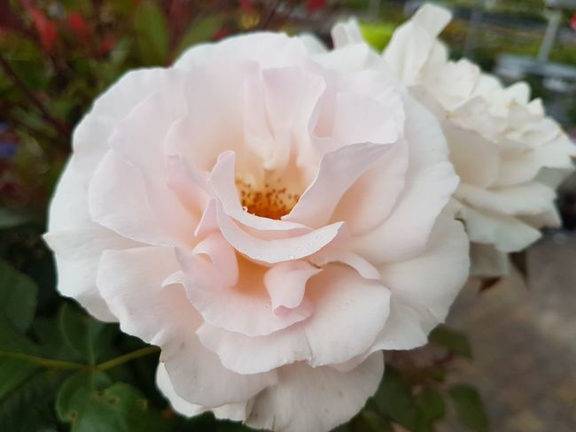 rose Today EyeEm Selects Flower Head Flower Pink Color Petal Rose - Flower Close-up Plant