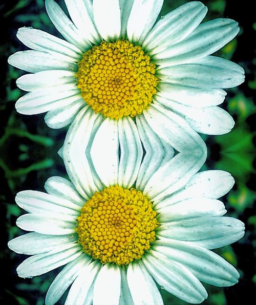 Flower Flower Head Yellow Outdoors Daisy Summer MyWorldInPictures Close-up Beauty In Nature Freshness Canon Eos 1100 D