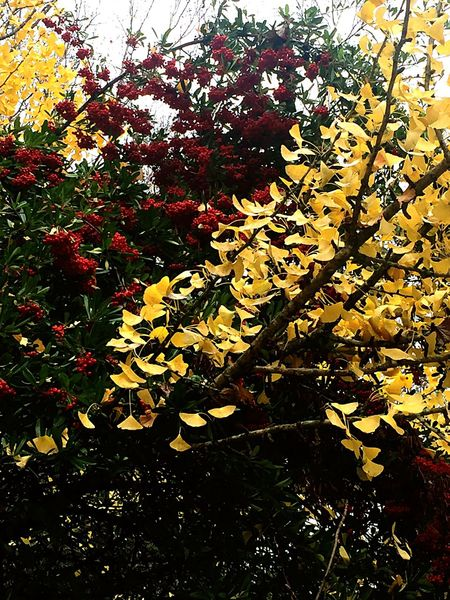 Yellow Leaves Berries Red Red & Yellow Nature Naturelovers Fauna Fall Colors Awesome Colors
