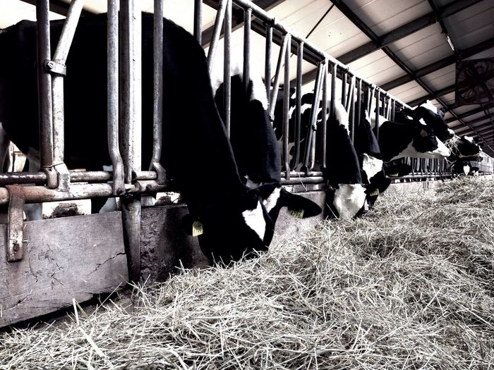 Cows Animals