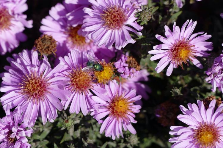 Nature's Diversities Natures Diversities Beauty In Nature Flower Flowers,Plants & Garden Flowers Beauty In Nature Insect Green Fly Daisies Daisy Daisys Daisy Flower Daisy Close-up