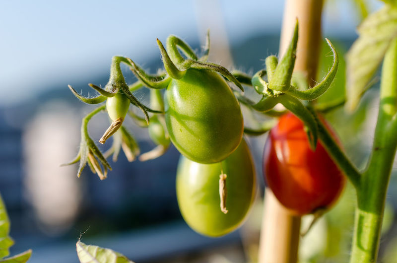 Agriculture Close-up Day Focus On Foreground Food Food And Drink Freshness Fruit Green Color Growth Healthy Eating Leaf Nature No People Outdoors Plant Plant Part Ripe Selective Focus Tomato Vegetable Wellbeing